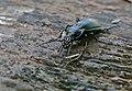 Ground Beetle (Carabus violaceus purpurascens) (35470910606).jpg
