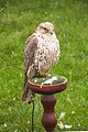 Gry x Saker Falcon, Cheshire Game and Country Fair 2014.jpg