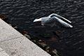 Gull Header (3024506439).jpg