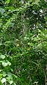 Gurania subumbellata Cogn. (13888199532).jpg
