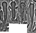 Gymnopus perforans (10.3897-mycokeys.18.10007) Figure 35.jpg