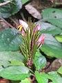 Gymnostachyum febrifugum at Kannavam RF (1).jpg