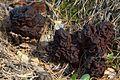 Gyromitra esculenta (8863644818).jpg