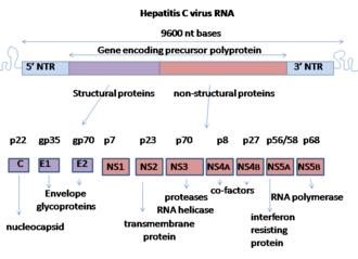 Hepatitis C virus - Genome organisation of Hepatitis C virus