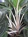 HK CWB 銅鑼灣 Causeway Bay 希慎廣場 Hysan Place Sky Garden plant white stem 孔雀竹芋 Calathea makoyana 肖竹芋屬 Calathea zebrina October 2017 IX1 02.jpg