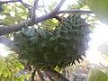 HOG Annona muricata 1.jpg