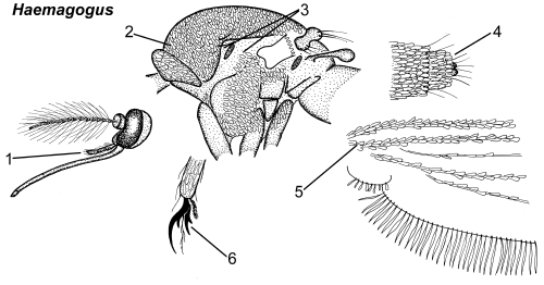 Haemagogus thorax parts.png