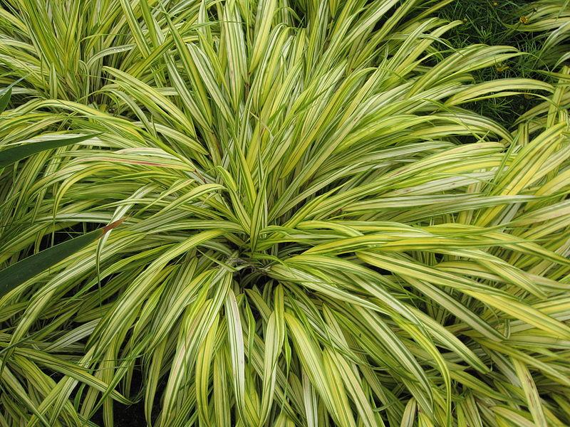 File hakonechloa macra 39 alboaurea 39 jpg wikimedia commons for Plantes vertes hautes