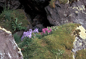 Hall Island (Alaska) - Image: Hall Island Jacobs Ladder and Lousewort in auklet colony