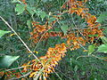 Halleria lucida, oranje newevorm, Iphithi NR, b.jpg