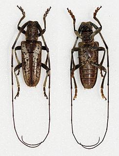 <i>Haplothrix</i> genus of insects