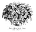 Haricot jaune de la Chine Vilmorin-Andrieux 1904.png