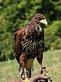 Harris Hawk Juvenile v-1 (falconry).jpg