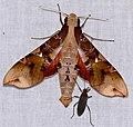 Hawkmoth (Callionima parce) male and Rhopalid Bug (Jadera coturnix) ... (40218371754).jpg