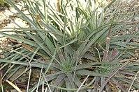 Hechtia glomerata 0zz.jpg