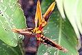 Heliconia psittacorum x Heliconia spathocircinata 3zz.jpg