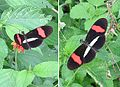 Heliconius erato petiverana - Flickr - Dick Culbert.jpg