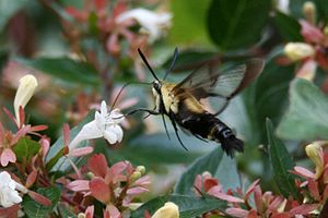 Abelia - A Snowberry Clearwing (or Bumblebee Moth) Hemaris diffinis nectaring on Abelia