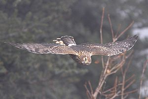 Hen harrier - Bird in flight at an altitude over 12,500 ft in Pangolakha Wildlife Sanctuary in East Sikkim district, India in the month of November