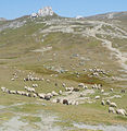Herd of sheep in Bucegi Mountains-2.jpg