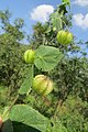 Herissantia crispa - Bladder Mallow at Theni (3).jpg