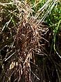 Heteropogon contortus (5187440449).jpg