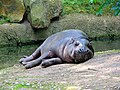 Hexaprotodon-liberiensis-pigmy-hippo-hdr-0a.jpg