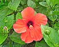Hibiscus 'Brillantissima'.jpg
