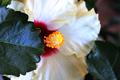 Hibiscus - foglia.png