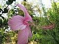Hibiscus 1 (2314865641).jpg