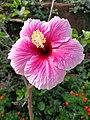 Hibiscus flower in Karnataka, India.jpg