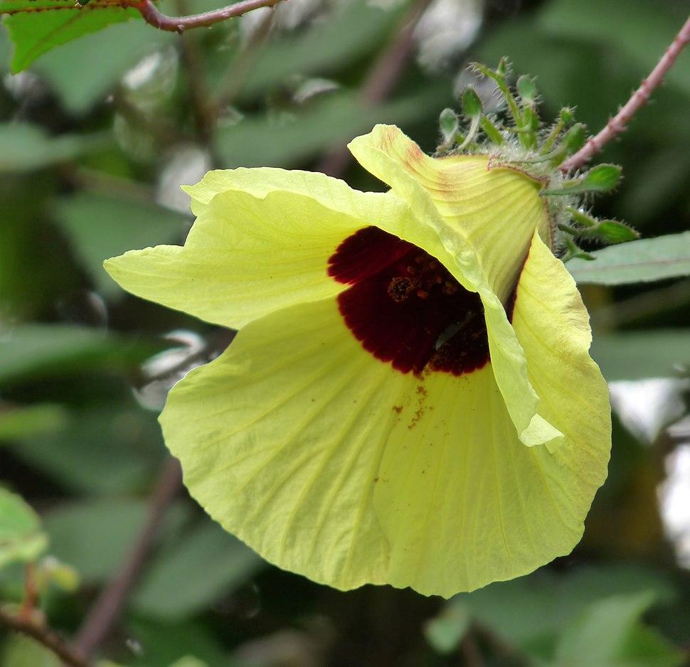 Hibiscus hispidissimus at Kadavoor