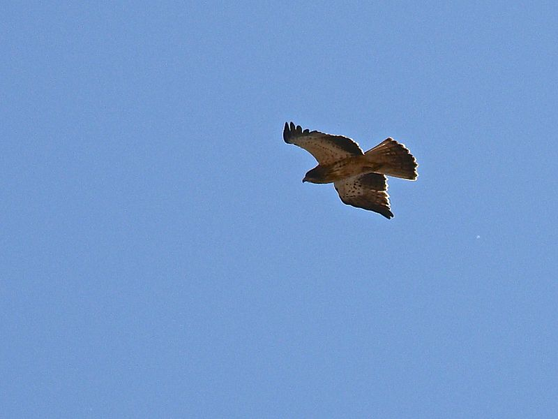 Booted eagle over Miramont-de-Comminges, France