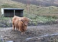 Highland bull, Suie Lodge - geograph.org.uk - 329410.jpg