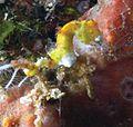 Hippocampus pontohi - ZooKeys-103-001-g002c.jpeg