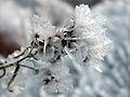 HoarFrost Flower.jpg