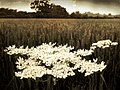 Hogweed - Flickr - The hills are alive.jpg