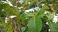 Holarrhena pubescens leaves and flowers.jpg