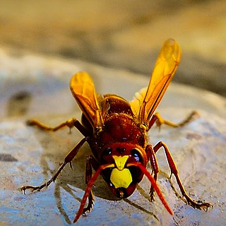 Hornet genus of insects