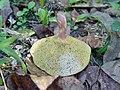 Hortiboletus bubalinus (Oolbekkink & van Duin) Redeuilh 565982.jpg