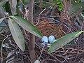 House Crow Corvus splendens nest with eggs by Raju Kasambe DSCN0468 (7) 49.jpg