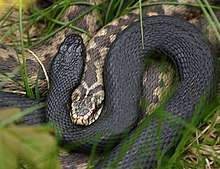 Shows the front parts of two common adders. One snake has the normal colour while the other has melanistic colour/pattern form. The head of the normal snake is enclosed in a half-coil of the melanistic form.