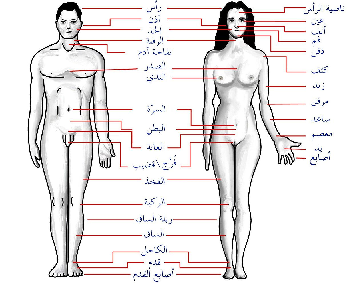 البظر http://ar.wikipedia.org/wiki/%D9%85%D9%84%D9%81:Human_body_features_ar.jpg
