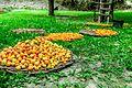 Hunza Apricot.jpg