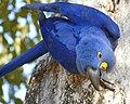 Hyacinth Macaw (Anodorhynchus hyacinthinus) (48386190996).jpg