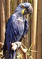 Hyacinth Macaw (Anodorhynchus hyacinthinus) at the Cougar Mountain Zoo 2014.jpg