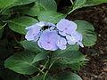 Hydrangea macrophylla 03.JPG