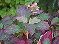 Hydrangea quercifolia Horensja dębolistna 2017-10-15 03.jpg