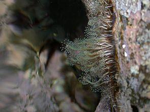 Hydrocoryne miurensis