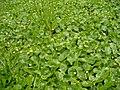 Hydrocotyle umbellata L. (AM AK318414-3).jpg